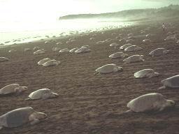 Arribada de tortugas en México