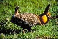 Pollo de las Praderas de Attwater