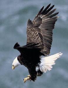 Águila calva norteamericana