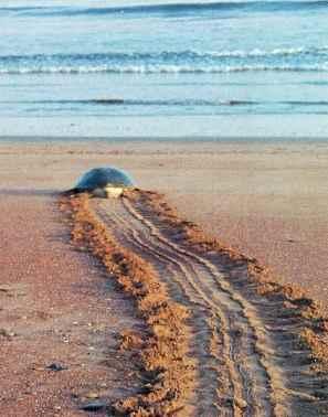 Tortuga regresando al mar luego de depositar los huevos