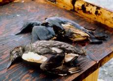 Aves afecadas por el petróleo del Exxon Valdez