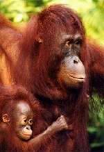 Orangutan y cria