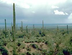 Saguaros en Chihuahua