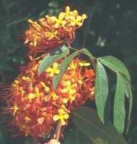 Flores de ashoka