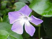 Flor de la pervinca Vinca major