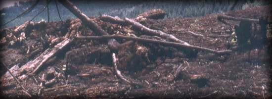 árboles recién cortados