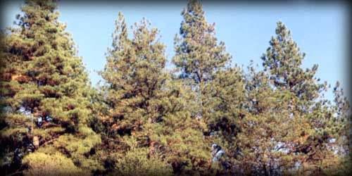 árboles de coníferas