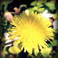 flor de diente de leon (dandelio)