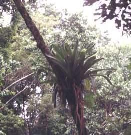 planta epífita
