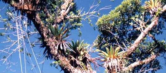 Plantas epífitas sobre un árbol.