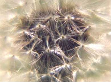 semillas de diente de leon