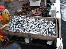 pesca de arenque en el Atlántico