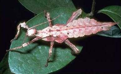 insecto camuflajeado como hoja