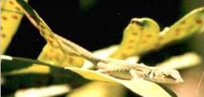 lagarto camuflajeado