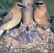aves con polluelos en nido