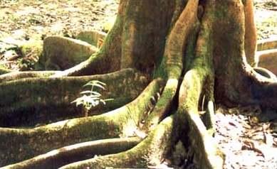 raíz de árbol