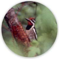 pájaro carpintero chupador de savia (sapsucker woodpecker)