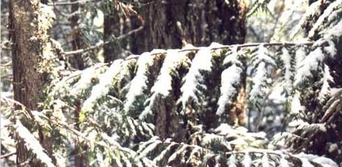 nieve sobre ramas