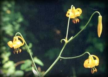 flor de tigridia