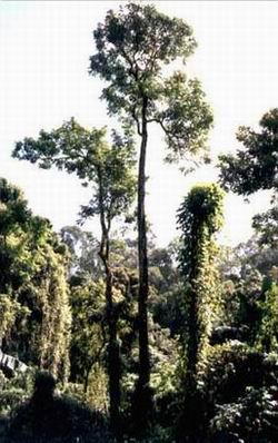 árboles con enredaderas