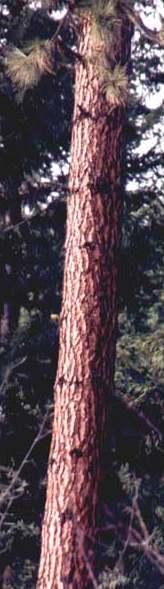tronco de pino