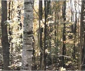 troncos erectos en bosque caducifolio