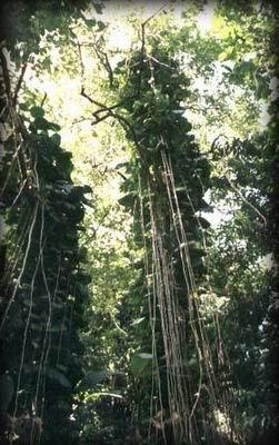 Lianas en un bosque pluvial