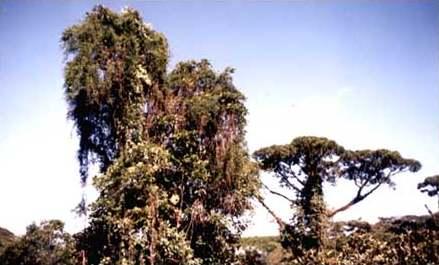 árboles con lianas y epífitas