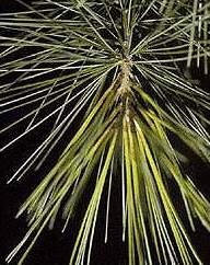 agujas de pino blanco oriental (Pinus strobus)