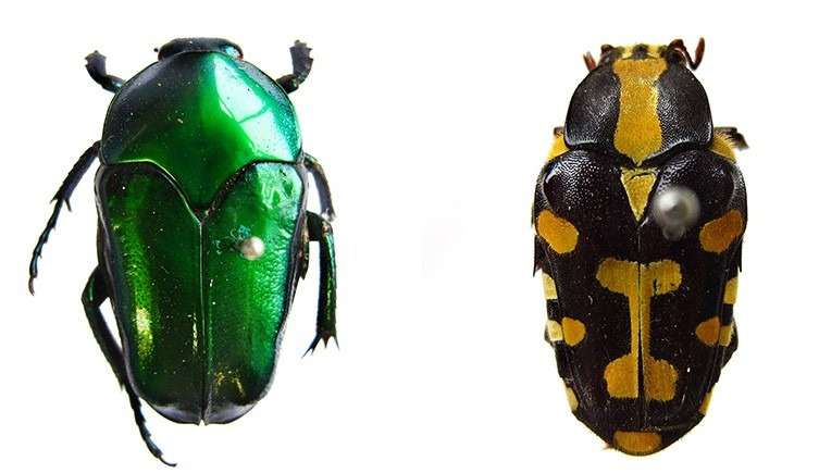 escarabajos que Wallace recogió