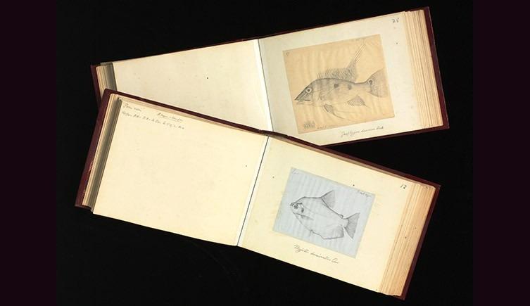 Dos de los dibujos de Wallace de peces amazónicos,